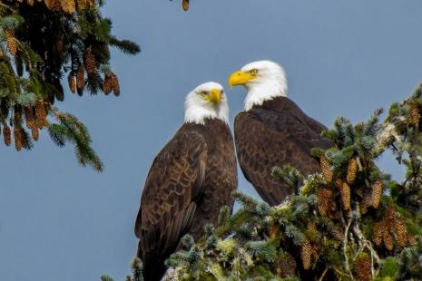 bald eagles couple