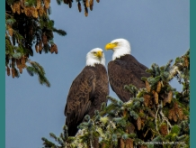Loving couple of Bald Eagles